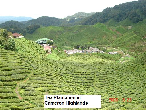 bharat tea plantation cameron