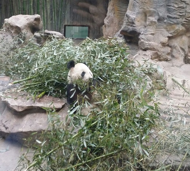 panda bear in china zoo